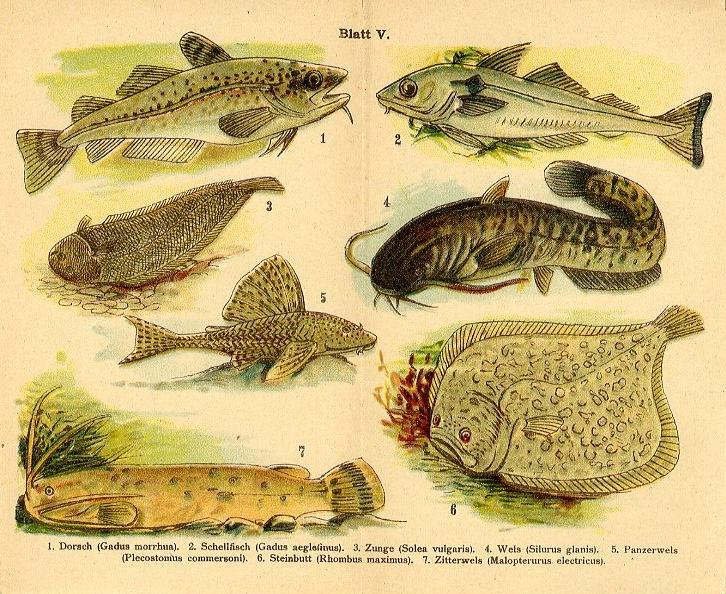 1890 bilder atlas chromo fish cod haddock sole turbot for Colorado fishing atlas