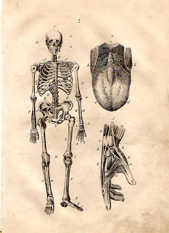 1861 Martin Wood Engraving Anatomy Skeleton Tongue Taste Buds