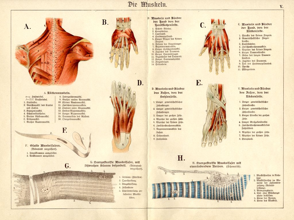 1886 SCHUBERT CHROMOLITHOGRAPH - muscles & ligaments: back, hands ...