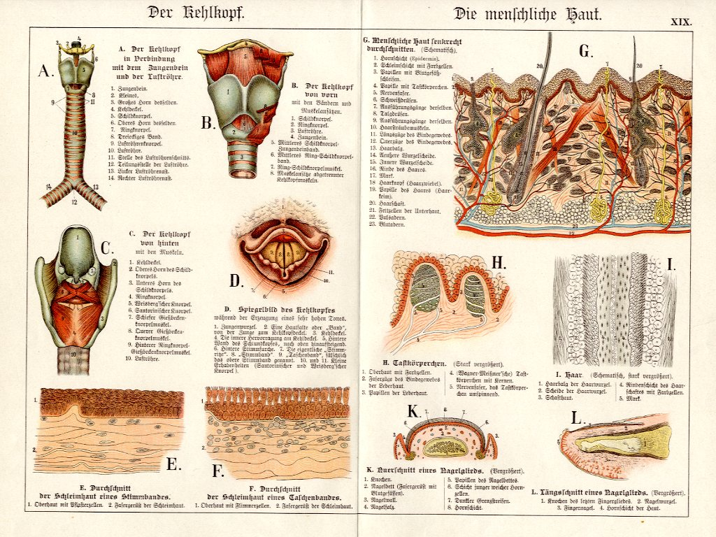 1886 SCHUBERT CHROMOLITHOGRAPH - human anatomy: larynx, hair, skin ...